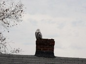 Snowy Owl sighting in Arlington MA. Perched on our neighbor's chimney.