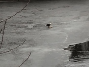 Bald eagle eating a fish on the Charles River in Dedham.