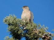 Hawk in Pine Tree