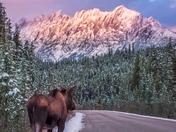Maligne Moose