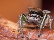 4b. Habronattus viridipes jumping spider