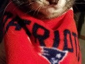 Demetrius the Ferret says - Don't Mess with Pats Fans! GO PATS!!