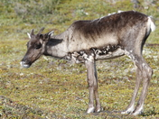 Young barren-ground caribou standing on the green tundra in August