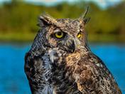 Eddie the owl