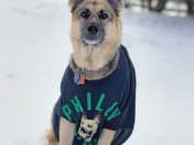 A fun pic of my German Shepherd all ready for Super Bowl