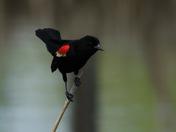 Red Wing Balck Bird