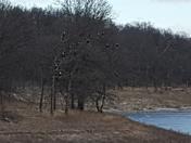 Eagles at Rathbun Lake