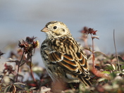 Close-up of a Lapland Longspur on the arctic tundra with plants in the background