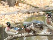 Wood Duck party!