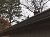 Two hen turkeys on my roof.