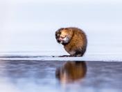 Muskrat at the Lake