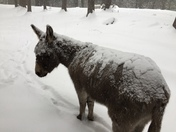 Snow Donkeys, in Warner, NH !