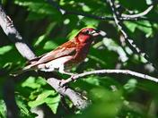 Pine gross beak  M