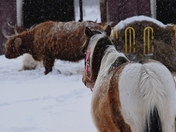 Farmstock in the snow.