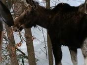 Klara the moose