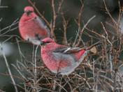 Red Bird(s)