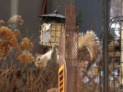 Squirrel at the bird's suet feeder