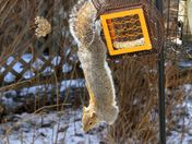 Squirrel hanging around at our bird feeder