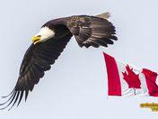 Patriotic Canadian Eagle