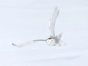 Snowy Owl Female , flight shot