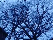Crows Galore