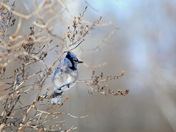 Blue Jay on a Cold Day