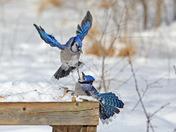 Blue Jay Spat