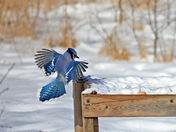 Blue Jay Landing