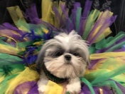 This is Lieulieu she is a Shih Tzusend loves Mardi Gras!