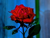 A ROSE IS A ROSE...IS A ROSE