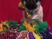 "Pumpkin the Pug says Happy ""Pawdi"" Gras"