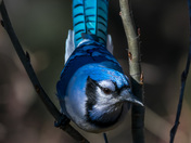 Tropical Looking Blue Jay