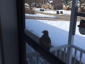 Hawk cme to our front door today must like the warm weather