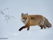Curious female cross fox
