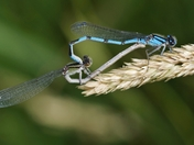 Damsel Flies Mating