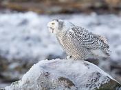 Cape Breton Snowy Owl