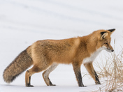 RED FOX, Listening for a Lemming
