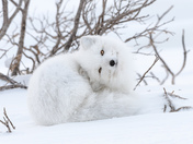 ARCTIC FOX acting cute
