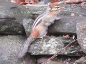 First Chipmunk of the Year!