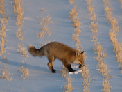 Red fox hunting mice