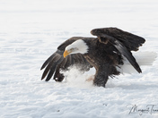 Bald Eagle incoming