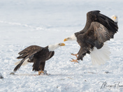 Bald Eagles fighting over fish