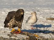 Eagle and Gull