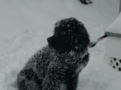 Our Newfie Maggie may enjoying the fresh snow in Manchester!