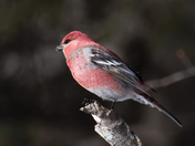 Red Grossbeak