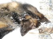 Blu Dog in the Snow