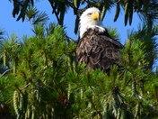 Lake Winnisquam Eagle