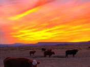 Cubero Cows at Sunset