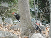 Woodpeckers in my yard