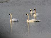 Graceful Swans on Rapp Lake